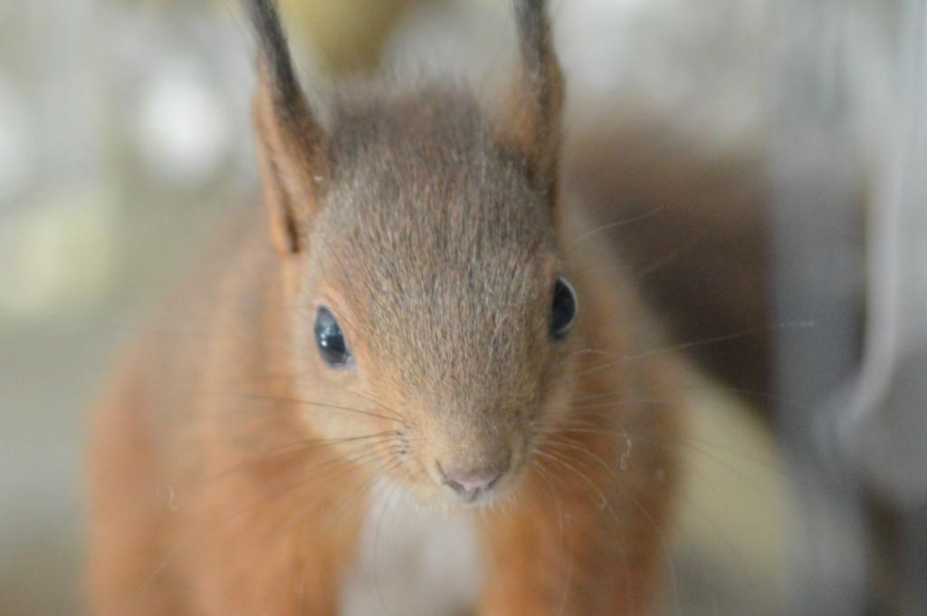 Zebulon bébé écureuil le grenier dalice