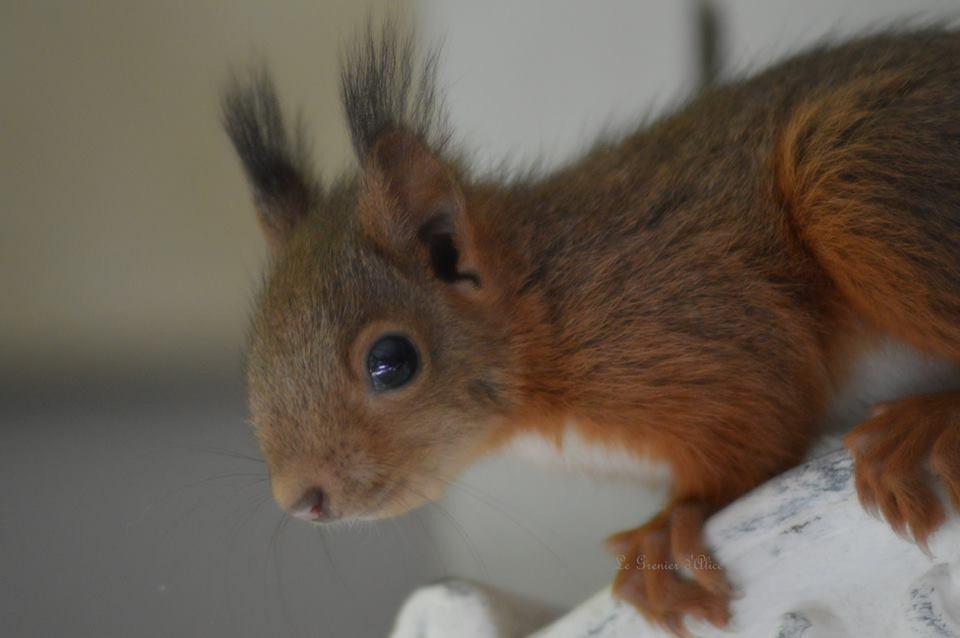 Zebulon bébé écureuil le grenier dalice 1